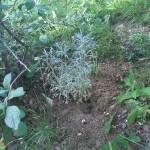 Ein Wüsten-Beifuss versteckt sich noch hinter dem Busch