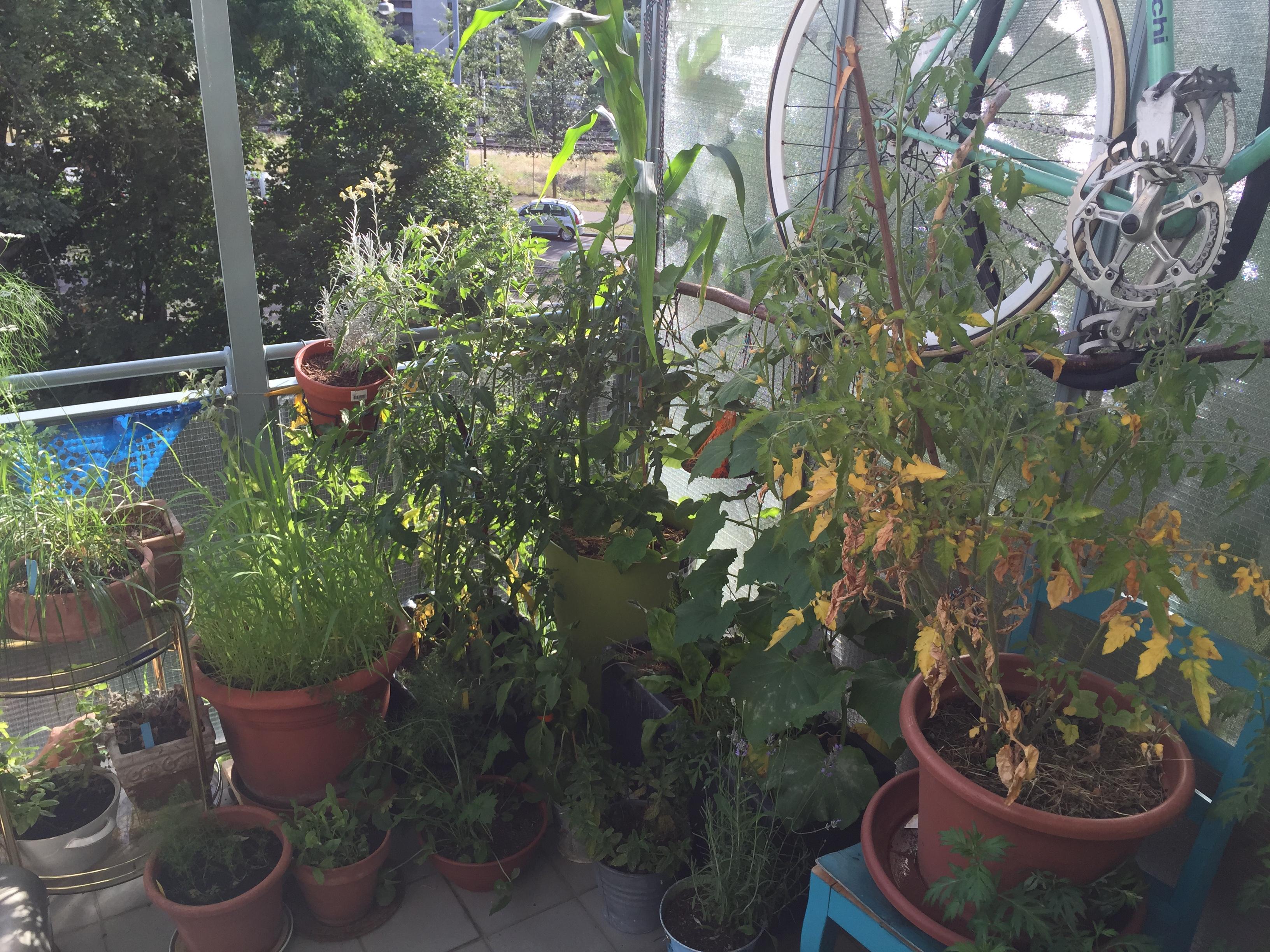 Auch hier bildet sich ein kleiner Tschungel, die gelben Blätter konnte ich mit Kaffesatz, Brenneseljauche in den Griff kriegen