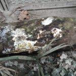 Gut zu sehen wie sich der Pilz im Buchenholz ausgebreitet hat