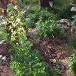 Was ist hier am Blühen, genau der Federkohl. im Hintergrund streckt sich der Alant aus seiner Wurzel.